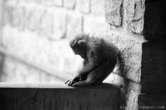Wounded Monkey[4]
