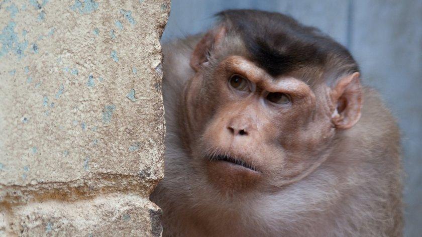 stubborn monkey